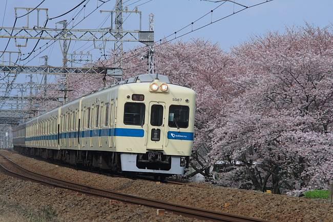座間桜02.JPG