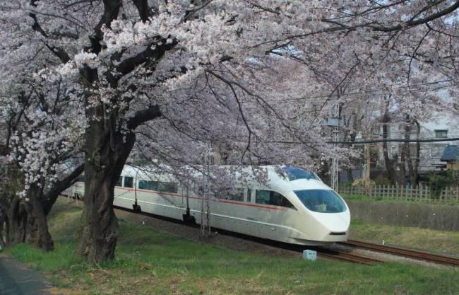 座間桜03s.jpg